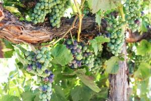 Malbec ripening at Robert Hall Winery