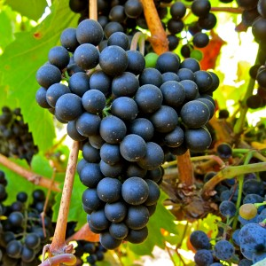 Petit Verdot on the vine