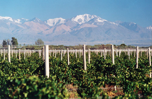 Malbec growing in Argentina